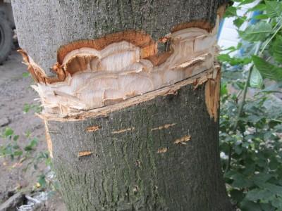 Úmyslné poškození stromu