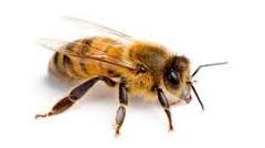 Včelí mor – nařízení Státní veterinární správy