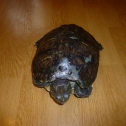 Našla se želva