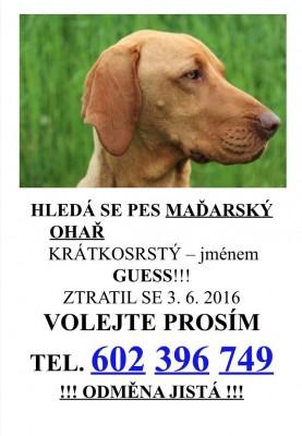 Hledá se pes Maďarský ohař