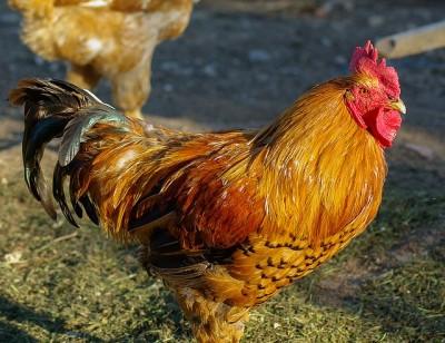 Ptačí chřipka – NAŘÍZENÍ STÁTNÍ VETERINÁRNÍ SPRÁVY