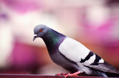 Problematika hubení holubů v Horních Počernicích