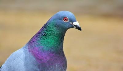 Horní Počernice řeší problematiku velkého výskytu holubů a ničení veřejných budov jejich trusem
