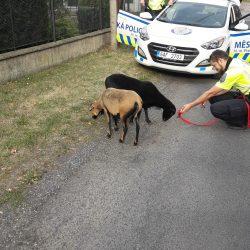 Zaběhnuté kozy poblíž dětského hřiště v Ratibořické ulici